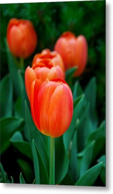 Red Tulips Metal Print by Az Jackson
