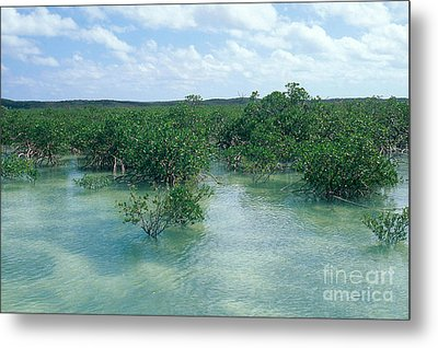 Red Mangrove Forest Metal Print