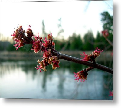 Metal Print featuring the photograph Red Maple Buds At Dawn by Kent Lorentzen