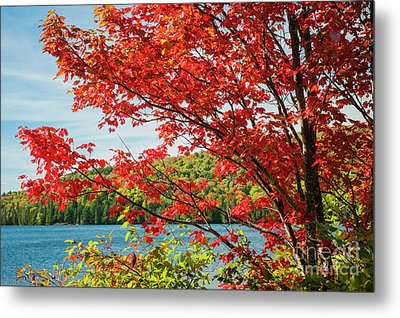 Metal Print featuring the photograph Red Maple On Lake Shore by Elena Elisseeva