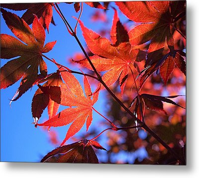 Red Maple Metal Print by Rona Black