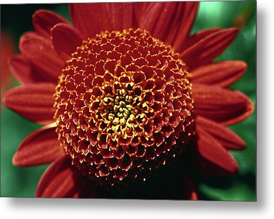 Metal Print featuring the photograph Red Mum Center by Sally Weigand