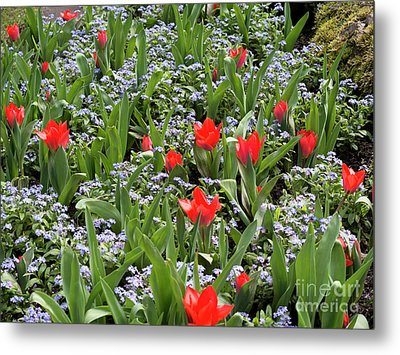 Red Orange Tulips And Blue Forget Me Nots In Spring Metal Print