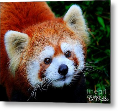 Metal Print featuring the photograph Red Panda by Davandra Cribbie