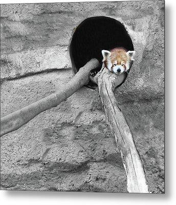 Red Panda Sleeping Metal Print by Brooke T Ryan