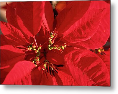 Metal Print featuring the photograph Red Poinsettia Macro by Sally Weigand