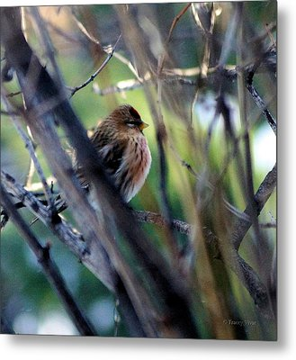 Red Poll, Resting Metal Print
