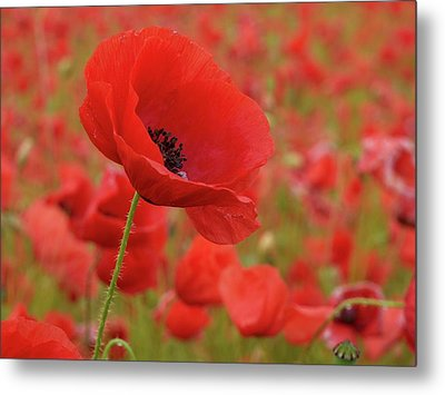 Red Poppies 3 Metal Print