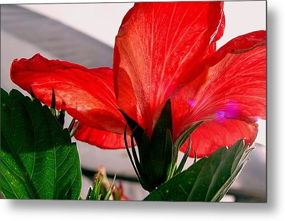 Red Poppy Metal Print by Robert Knight