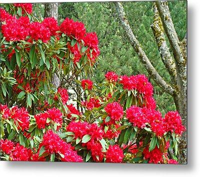 Red Rhododendron Garden Art Prints Rhodies Landscape Baslee Troutman Metal Print by Baslee Troutman