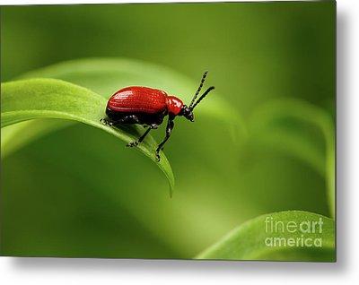 Red Scarlet Lily Beetle On Plant Metal Print by Sergey Taran