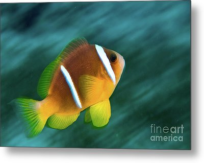 Red Sea Clownfish  Metal Print by Hagai Nativ