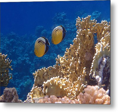 Red Sea Exquisite Butterflyfish  Metal Print