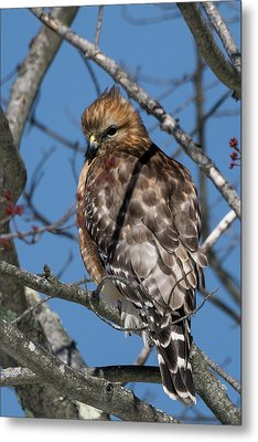 Metal Print featuring the photograph Red Shouldered Hawk 2017 by Bill Wakeley