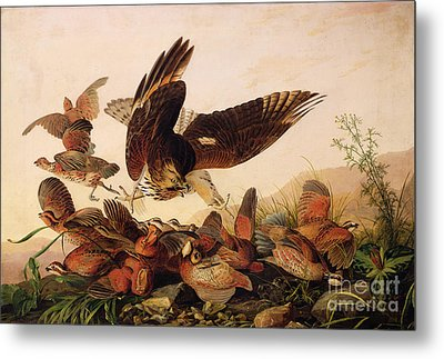 Red Shouldered Hawk Attacking Bobwhite Partridge Metal Print by John James Audubon