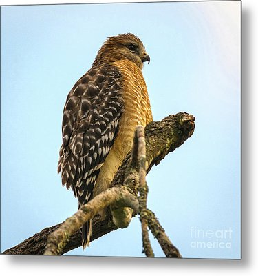 Red-shouldered Hawk - Buteo Lineatus Metal Print