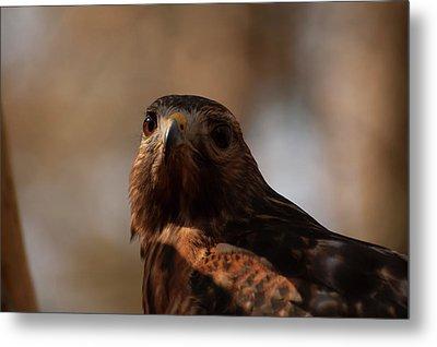 Red Shouldered Hawk Close Up Metal Print by Chris Flees