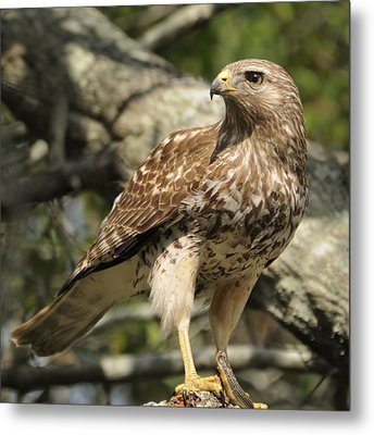 Metal Print featuring the photograph Red Shouldered Hawk With Prey by Bradford Martin