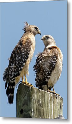 Red-shouldered Hawks Making Out Metal Print