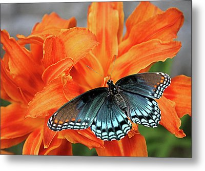 Metal Print featuring the photograph Red Spotted Fritillary by Kristin Elmquist