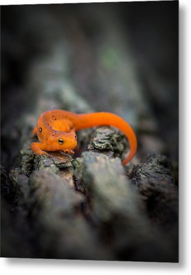 Metal Print featuring the photograph Red Spotted Newt by Chris Bordeleau