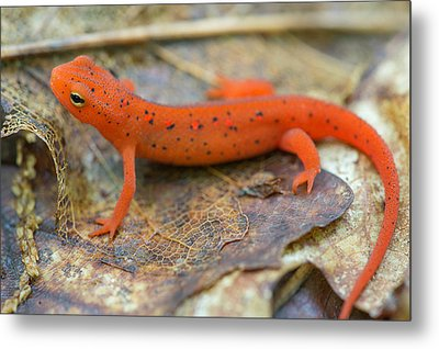 Red Spotted Newt  Metal Print by Derek Thornton