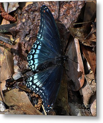Metal Print featuring the photograph Red Spotted Purple Admiral by Skip Willits