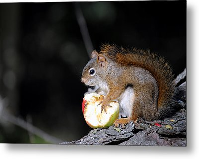 Red Squirrel Metal Print by Steven Scott