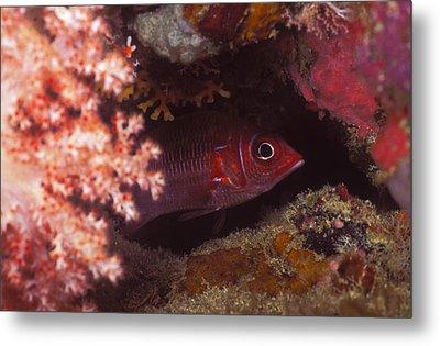 Red Squirrelfish Hiding Under Reef Metal Print by James Forte