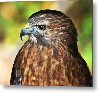 Red Tail 4b   Metal Print by Marty Koch