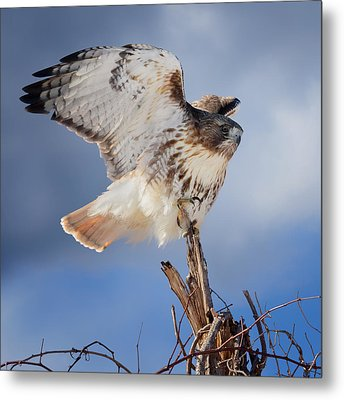 Metal Print featuring the photograph Red Tail Hawk Perch by Bill Wakeley