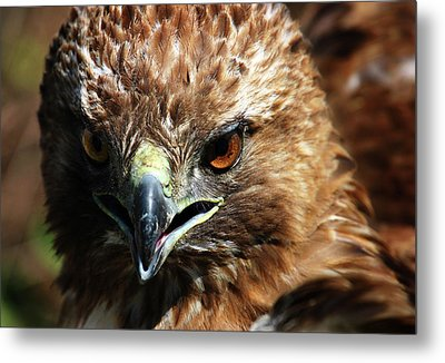 Metal Print featuring the photograph Red-tail Hawk Portrait by Anthony Jones