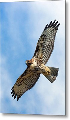 Red Tail Hawk Metal Print by Randall Ingalls