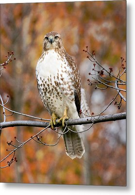 Red Tail In Autumn Glory Metal Print by Timothy McIntyre