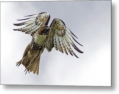 Red Tail Takeoff Metal Print by Randall Ingalls