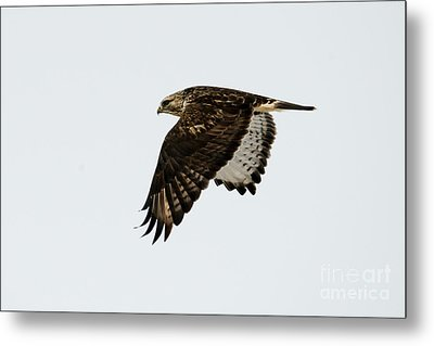 Red-tail Wings Down Metal Print by Mike Dawson