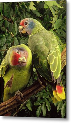 Red-tailed Amazon Amazona Brasiliensis Metal Print by Claus Meyer