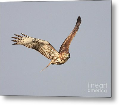 Red Tailed Hawk - 20100101-7 Metal Print by Wingsdomain Art and Photography