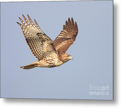 Red Tailed Hawk 20100101-1 Metal Print by Wingsdomain Art and Photography