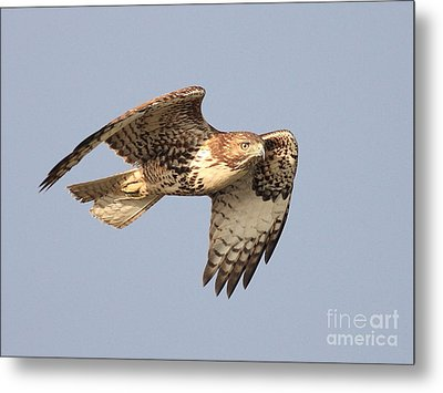 Red Tailed Hawk 20100101-2 Metal Print by Wingsdomain Art and Photography