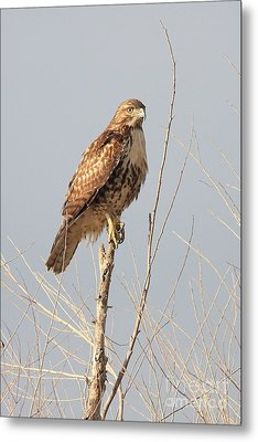 Red-tailed Hawk . 40d11323 Metal Print by Wingsdomain Art and Photography