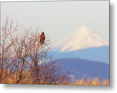 Red-tailed Hawk And Mount Shasta - Northern California Metal Print by Ram Vasudev