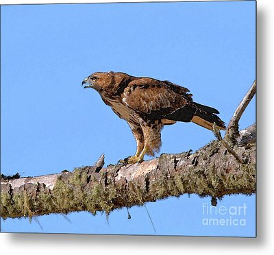 Red-tailed Hawk Metal Print by Betty LaRue