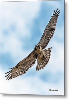 Red-tailed Hawk Coming At Me Metal Print