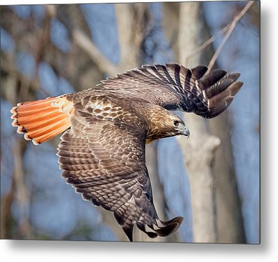 Red Tailed Hawk Flying Metal Print by Bill Wakeley