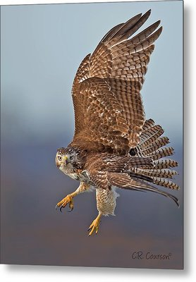 Red-tailed Hawk In Flight Metal Print by CR  Courson