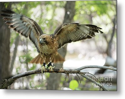 Red-tailed Hawk  Metal Print by Juli Scalzi