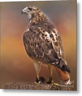 Red Tailed Hawk Metal Print by Kathleen Rinker