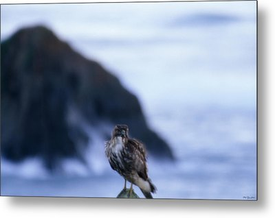 Red-tailed Hawk - Westport Union Landing State Beach Metal Print