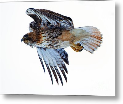 Red-tailed Hawk Winter Flight Metal Print by Mike Dawson